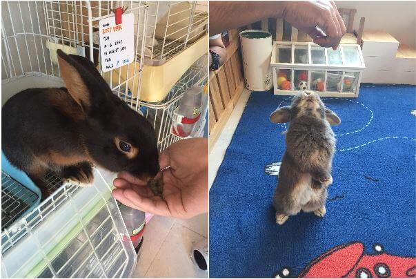 เป็นน้องกระต่ายที่อิมพอร์ตมาจากต่างประเทศ เพราะกระต่ายพันธุ์ไทยแท้ไม่มี